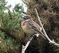 Female Stonechat singing.jpg