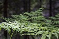 Fern Detail at Kelly Butte Lookout, Mt Baker Snoqualmie National Forest (32072650136).jpg