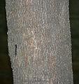 Fern Leaf Tree (Filicium decipiens) trunk in Hyderabad, AP W IMG 7809.jpg