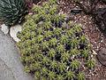 Ferocactus Robustus, Huntington.jpg