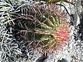 Ferocactus pilosus (5781933728).jpg