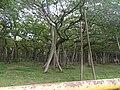 Ficus benghalensis-2-AJCBIBG-howrah-India.jpg