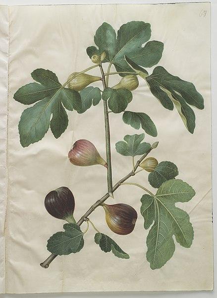 Aftegning af figentræ