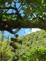Ficus mauritiana.JPG