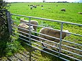 Field of Sheep Near Mouswald - geograph.org.uk - 565272.jpg