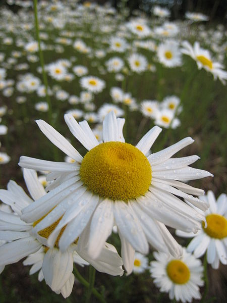 True to Words: Floriography: The Language of Flowers Field Of Daisies