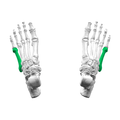 Fifth metatarsal bone03 superior view.png