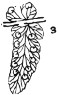 Fig 3 Dryopteris marginalis.png