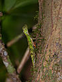 Five-lined Flying Dragon (Draco quinquefasciatus) female (15315207030).jpg