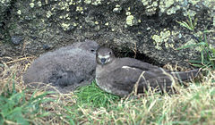 Fledgling Kermadec Petrel chick & parent.jpg
