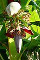 Fleurs de bananier.jpg
