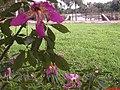 Flor de Paineira e ao fundo a Represa das Cruzes em Araraquara - panoramio.jpg