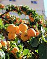 Flora of Israel Apricot tree (14531102502).jpg