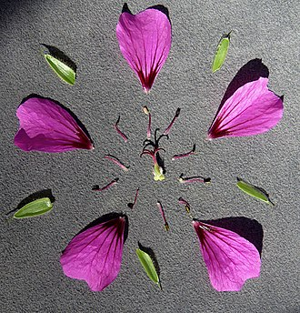Geranium - Floral diagram of a Geranium garden hybrid called 'Ann Thomson', showing 5 free sepals, 5 free petals, 10 free fertile stamens, and a superior ovary consisting of 5 merged carpels, with 5 style branches.