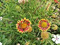 Flors dels jardins de la Plazuela Elías Aguirre de Chiclayo.jpg