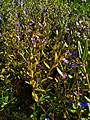 Flowering plants Photo by Giovanni Ussi 19.jpg