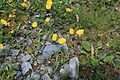 Flowers of Austrian Alps 3213.jpg