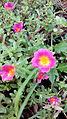 Flowers of india 08.jpg