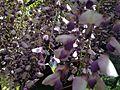 Flowers of wisteria in Kawachi Wisteria Garden 20150509-8.JPG