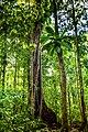 Forêt domaniale de guadeloupe.jpg