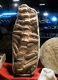 Fossilized backbone of marine animal, inside a rock.jpg
