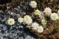 Fothergilla gardenii Mt. Airy 9zz.jpg