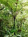 Fougère arborescente (Dicksoniaceae).jpg