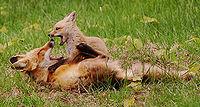 الثعلب الاحمر 200px-Foxplayingwith