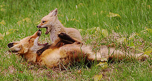 Red Fox (Vulpes vulpes) playing with its kit.