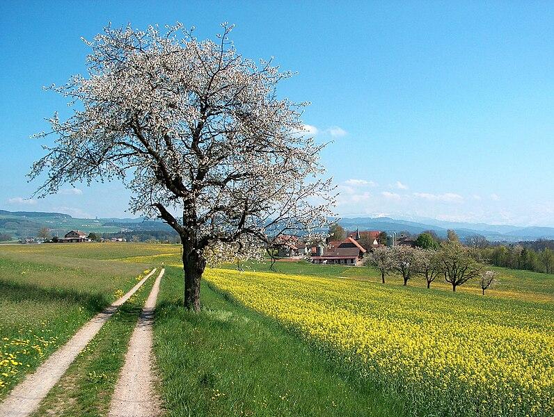 File:Frühlingslandschft Aaretal Schweiz.jpg