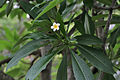 Frangipani (Plumeria rubra) leaves & a flower in Kolkata W IMG 8326.jpg