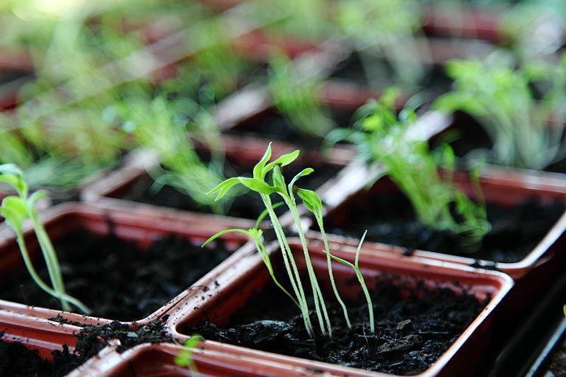 File:Free Organic Green Spring Plant Seedlings in Natural Window Light Creative Commons (8658017263).jpg