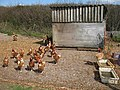 Free Range Chickens - geograph.org.uk - 395034.jpg