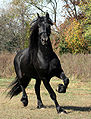 Friesian Stallion.jpg