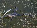 Frogs (3495451785).jpg