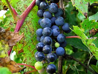 Vitis riparia - Frost grapes (Southeast Michigan)