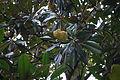 FruitTreeDF02.JPG