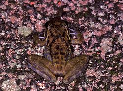 Fuch's Water Frog (Petropedetes vulpiae) (7706547374).jpg