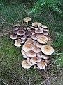 Fungi - geograph.org.uk - 250323.jpg