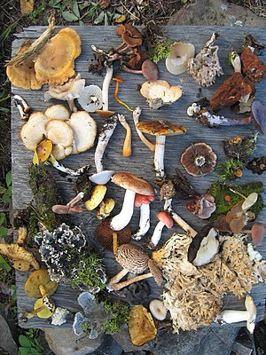 Biodiversity - A sampling of fungi collected during summer 2008 in Northern Saskatchewan mixed woods, near LaRonge is an example regarding the species diversity of fungi. In this photo, there are also leaf lichens and mosses.
