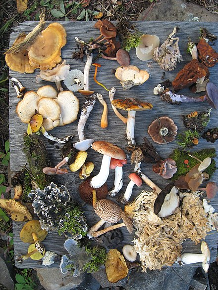 A sampling of fungi collected during summer 2008 in Northern Saskatchewan mixed woods, near LaRonge, is an example regarding the species diversity of fungi. In this photo, there are also leaf lichens and mosses. Fungi of Saskatchewan.JPG