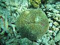 Fungia fungites Maldives.JPG