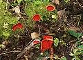 Fungus, Castleroe Wood - geograph.org.uk - 729300.jpg