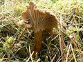 Funnel mushroom chanterelle.jpg