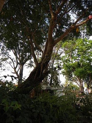Balete tree - Image: Fvf Cordon Isabela 3349 33