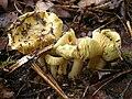 Gąska zielonka 4163586757.jpg