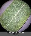 Gaillardia ×grandiflora sl10.jpg