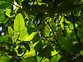 Garcinia talbotii (8257549340).jpg