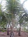 Garden at saraswathi illam,palavangudijpg 18.jpg