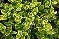 Gardenia 'Fragrant Star' in Auckland Botanic Gardens 02.jpg